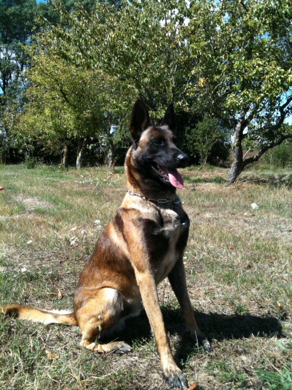 Police dog, executive protection, protection dogs, sport dogs
