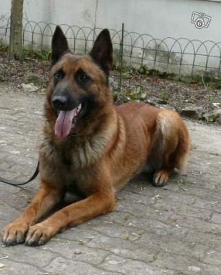 Executive Protection Dog For Sale